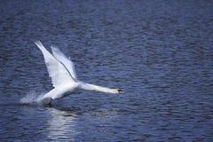av att ta för swan Fotografering för Bildbyråer