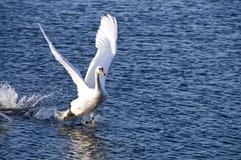 av att ta för swan Royaltyfri Bild