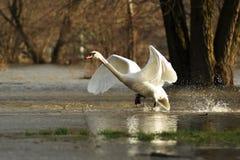 av att ta för swan Royaltyfri Fotografi