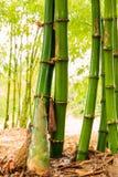 For av bambu royaltyfri foto