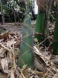 For av bambu arkivfoton