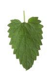 Av bladet för citronbalsam som isoleras på vit bakgrund Royaltyfri Foto