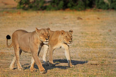 2 av Cecils stolthet som GÅR PÅ SLÄTTARNA I hWANGE Royaltyfria Bilder