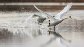 Av går vi! Ett par av att ta-av för stumma svanar royaltyfri foto