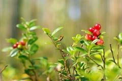 Av röda lingon i skog arkivfoton