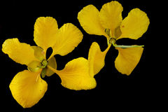 Avaaram Poo (Tanner's Cassia) Stock Image