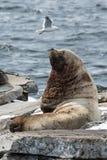北海狮或斯特勒海狮 堪察加, Avachi 免版税图库摄影