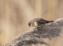 Avadavat o rosso rosso Munia Fotografie Stock