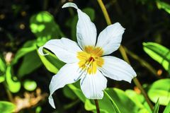 Avalanche blanche Lily Wildflower Mount Rainier Paradise Images stock