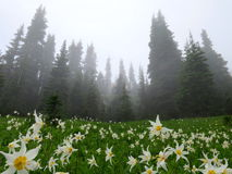 Avalanche Lilies in the Fog Stock Photo