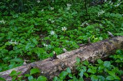 Avalanche Lilies on Forest Floor. Avalanche Lilys Erythronium montanum. Mt Hood Wilderness, Oregon Royalty Free Stock Image