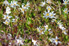 Avalanche Lilies on Mount Rainier Royalty Free Stock Images
