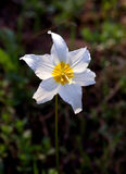 Avalanche Lily Stock Images