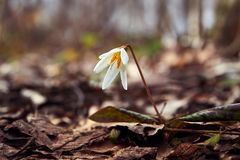 Avalanche lily in the spring forest royalty free stock photography