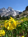 Avalanche Lily in Teton Range. A close up of an Avalanche Lily with the Tetons in the background Stock Photos