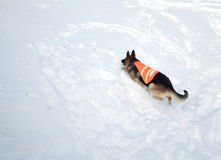 Avalanche Rescue Dog Climbing a Mountain of Snow Royalty Free Stock Photos