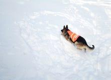 Avalanche Rescue Dog Climbing a Mountain of Snow Royalty Free Stock Photos