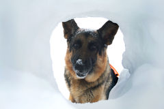 Avalanche Rescue Dog Finds a Survivor Royalty Free Stock Photos