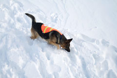Avalanche Rescue Dog Uses Nose to Search Royalty Free Stock Image