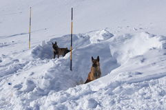 Avalanche Rescue Dogs Royalty Free Stock Photo
