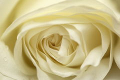 Avalanche white rose. Close up of a avalanche white rose, soft focus Royalty Free Stock Image