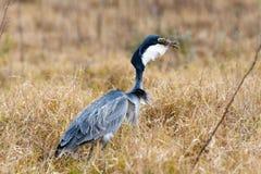Avalant votre nourriture - oiseau de héron de grand bleu Images libres de droits