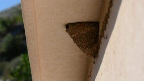 Avalez les poussins de bébé alimentant sur le nid, poussins de bébé d'hirondelle sur la bouche de attente de nid ouverte pour êtr clips vidéos