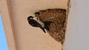 Avalez les poussins de bébé alimentant sur le nid, poussins de bébé d'hirondelle sur la bouche de attente de nid ouverte pour êtr banque de vidéos