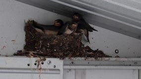 Avalez les poussins, Hirundinidae, dans le nid dans le hangar attendant pour être alimenté par des adultes en juillet, l'Ecosse banque de vidéos