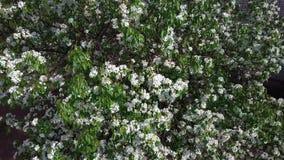 Avaliação aérea da árvore de florescência do caranguejo Vista superior filme