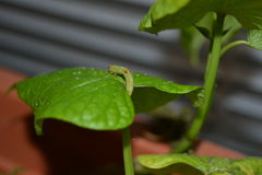 Avance lentamente el gusano que mide la hoja verde de una planta de patata dulce Fotos de archivo