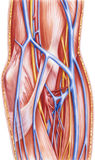 Avant-bras - navires et nerfs antérieurs laissés dissection profonde Photo libre de droits