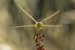 Avant commun de Darter (striolatum de Sympetrum) Photos stock