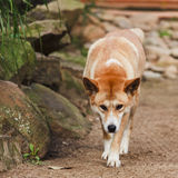 Avant de Dingo Image stock