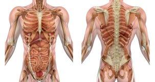 Avant et dos mâles de torse avec des muscles et des organes illustration libre de droits