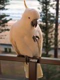 Avant viril de Cockatoo Photographie stock libre de droits