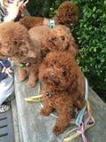 Avanti cani della pozza Fotografia Stock Libera da Diritti