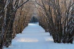 Avanue d'arbre noisette par jour d'hiver ensoleillé Photographie stock libre de droits