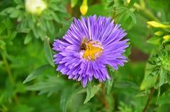 Avbilda av härlig violett blomma och bi Arkivbilder