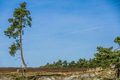 Avbilda av sörjer isolerat på en ointressant terräng, och med sörja träd i bakgrunden royaltyfria foton