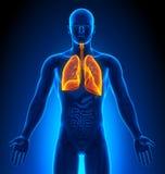 Avbilda - Male organ - Lungs för läkarundersökning stock illustrationer