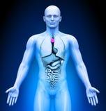 Läkarundersökning som avbildar - thymuskörtel Fotografering för Bildbyråer