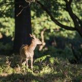 Avbildar röda hjortar för ung bakre doe i Autumn Fall skoglandskap Arkivfoton
