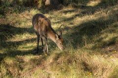 Avbildar röda hjortar för ung bakre doe i Autumn Fall skoglandskap Arkivfoto