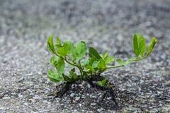 Avbrott för grön växt till och med asfalten Fotografering för Bildbyråer