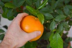 Avbrottsfrukt från ett träd, apelsin Royaltyfri Fotografi