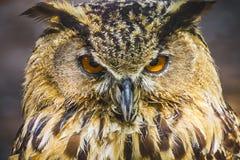 Ave de rapina, coruja bonita com olhos intensos e plumagem bonita Imagens de Stock