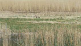 Ave de rapina ocidental masculina de Marsh Harrier (aeruginosus do circo) que recolhe o material do assentamento video estoque