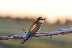 Ave del paraíso - abeja-comedores que se sientan en una rama en la puesta del sol Imagen de archivo