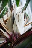 Ave del paraíso blanca Fotografía de archivo libre de regalías